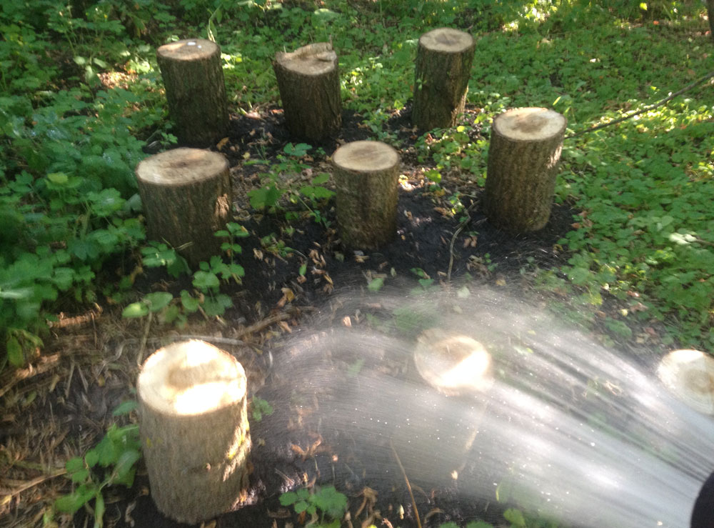 выращивание вешенки на пнях